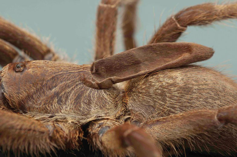 Araignée à corne