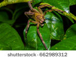 stock-photo-venomous-wandering-spider-phoneutria-fera-sitting-on-a-heliconia-leaf-in-the-amazon-rainforest-in-662989312